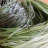 野生のカラムシの繊維